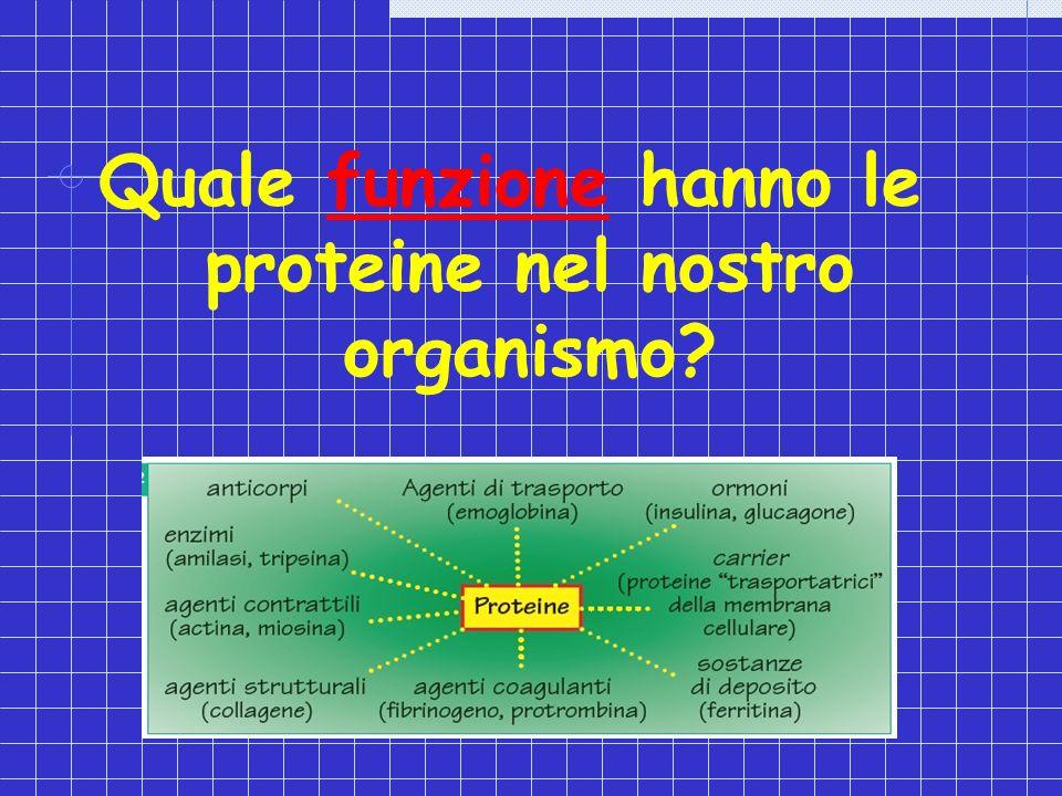 Quale funzione hanno le proteine nel nostro organismo