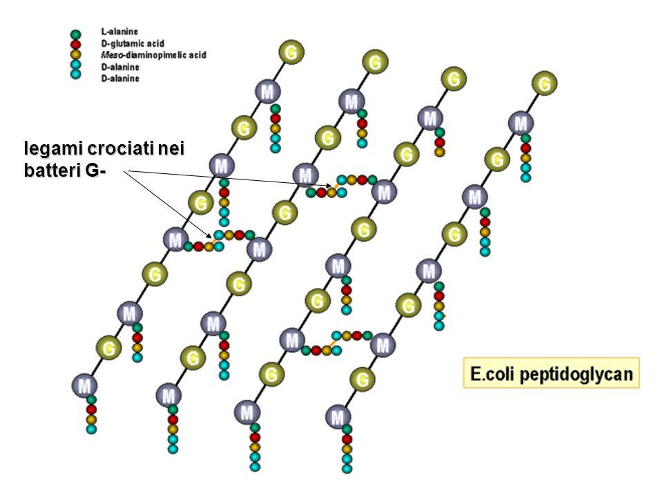 legami crociati nei batteri G-