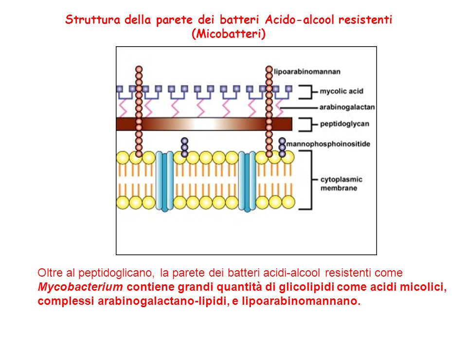 Struttura della parete dei batteri Acido-alcool resistenti
