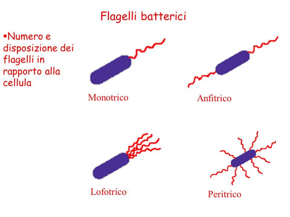 Flagelli batterici Numero e disposizione dei flagelli in rapporto alla cellula. Monotrico. Anfitrico.