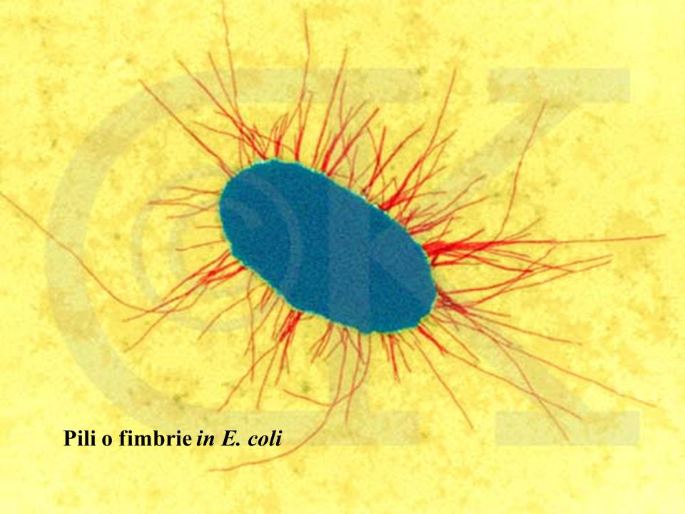 Pili o fimbrie in E. coli