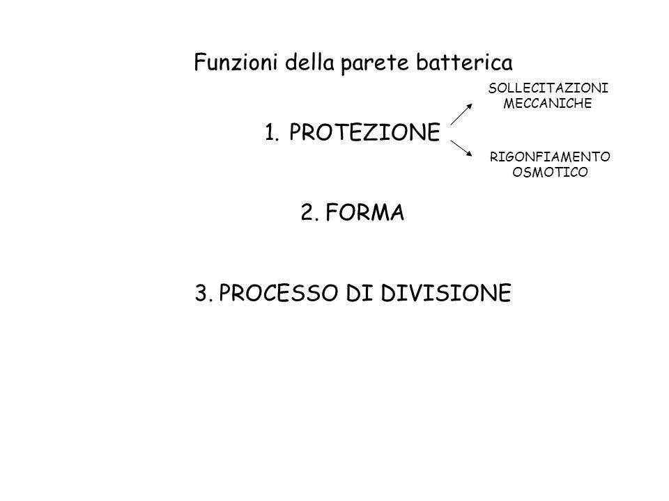 Funzioni della parete batterica PROTEZIONE