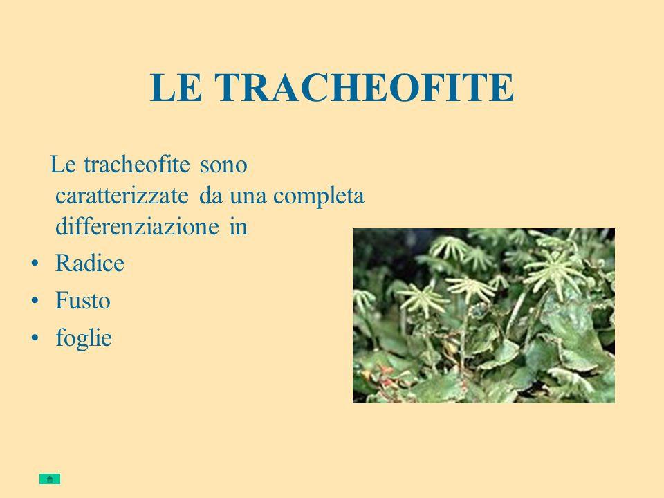 LE TRACHEOFITE Le tracheofite sono caratterizzate da una completa differenziazione in. Radice. Fusto.
