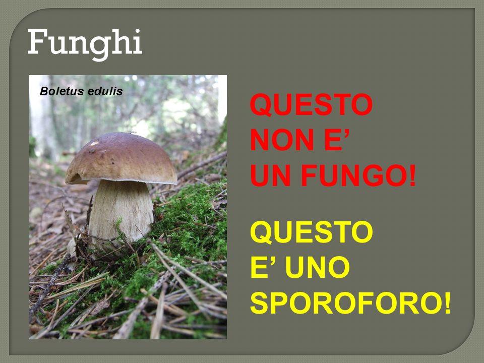Funghi Boletus edulis QUESTO NON E' UN FUNGO! QUESTO E' UNO SPOROFORO!