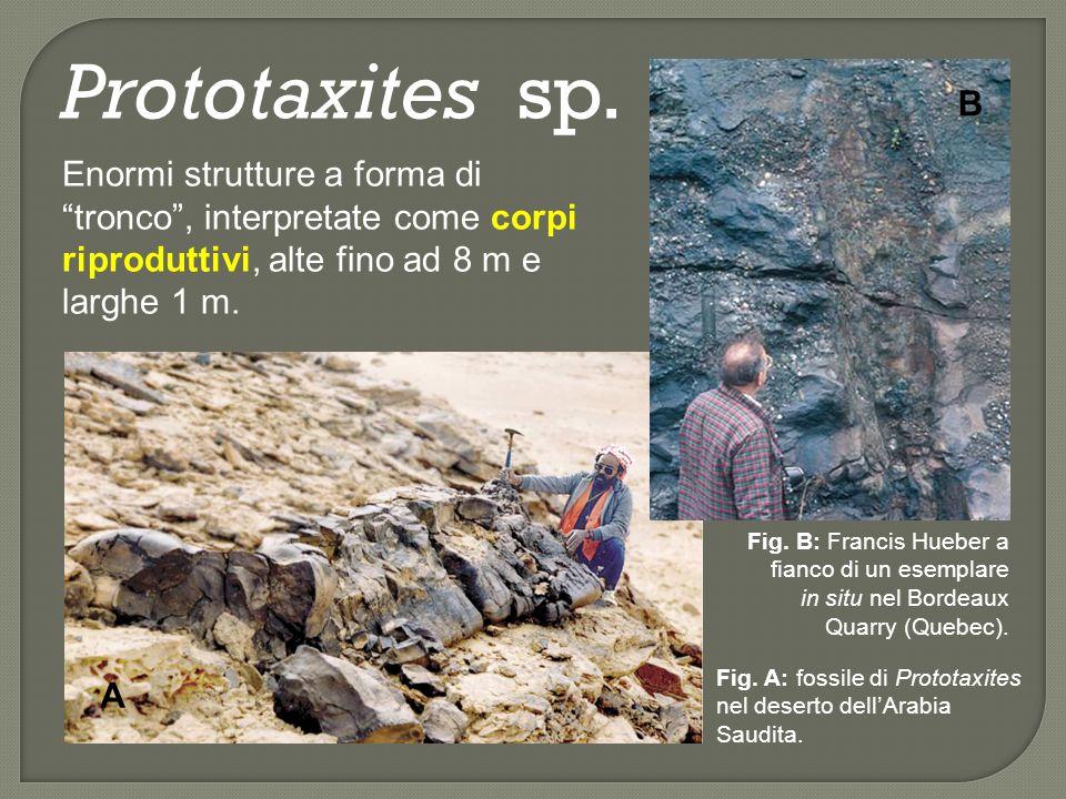 Prototaxites sp. B. Enormi strutture a forma di tronco , interpretate come corpi riproduttivi, alte fino ad 8 m e larghe 1 m.