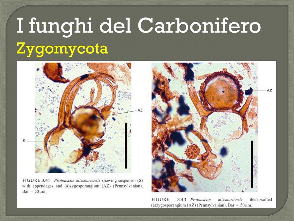I funghi del Carbonifero