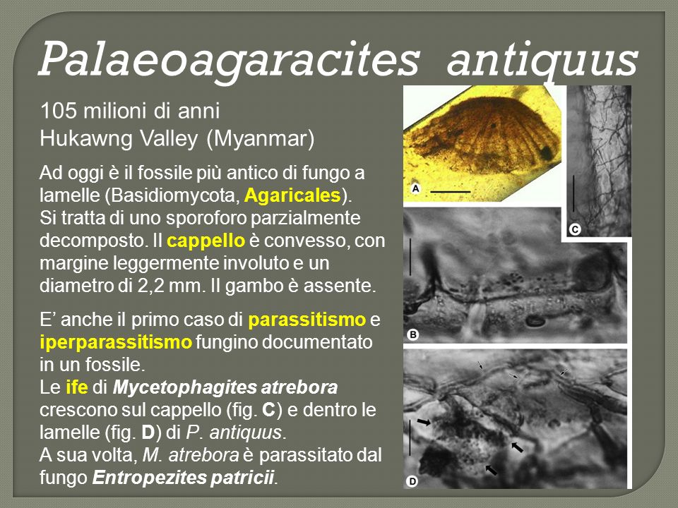 Palaeoagaracites antiquus