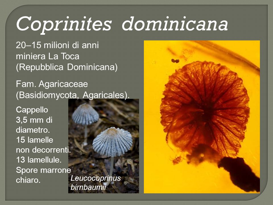 Coprinites dominicana