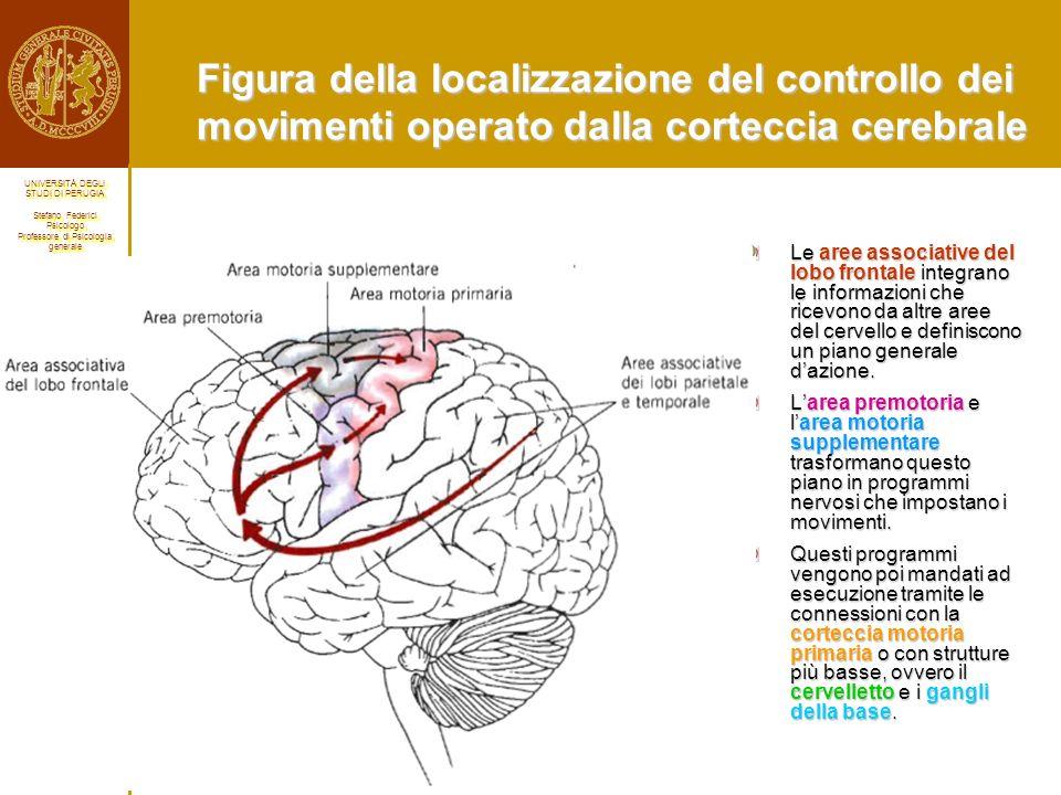 Figura della localizzazione del controllo dei movimenti operato dalla corteccia cerebrale