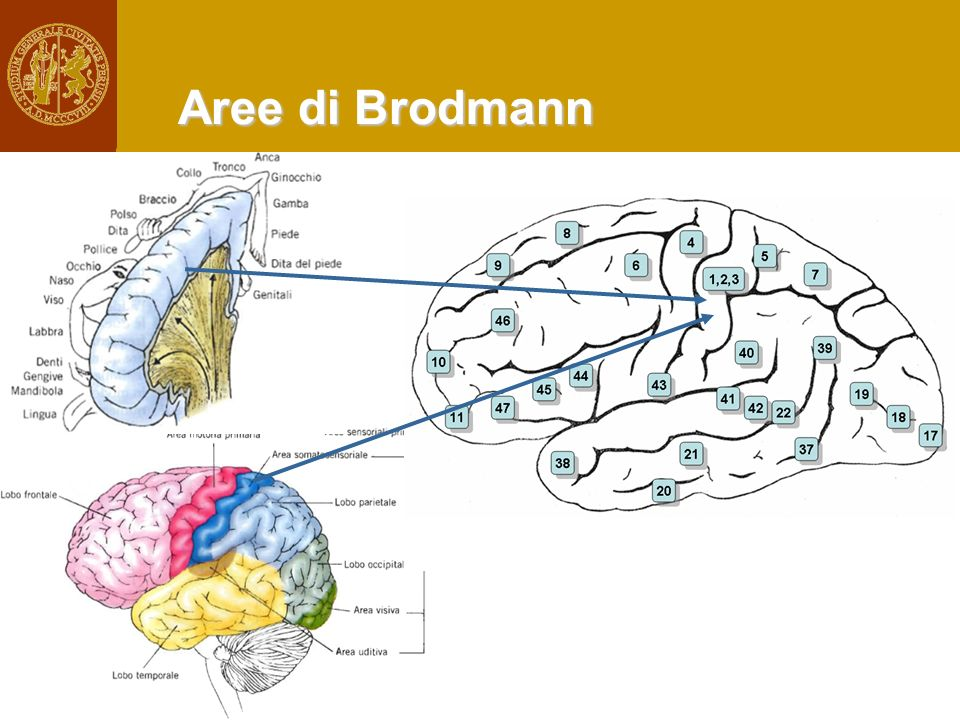 Aree di Brodmann