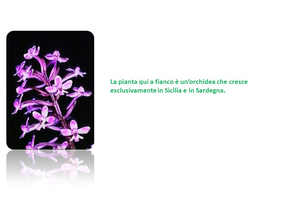 La pianta qui a fianco è un'orchidea che cresce esclusivamente in Sicilia e in Sardegna.