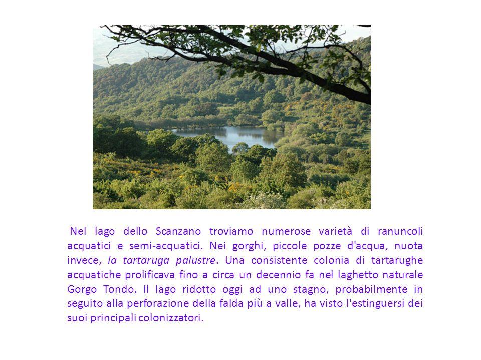 Nel lago dello Scanzano troviamo numerose varietà di ranuncoli acquatici e semi-acquatici.