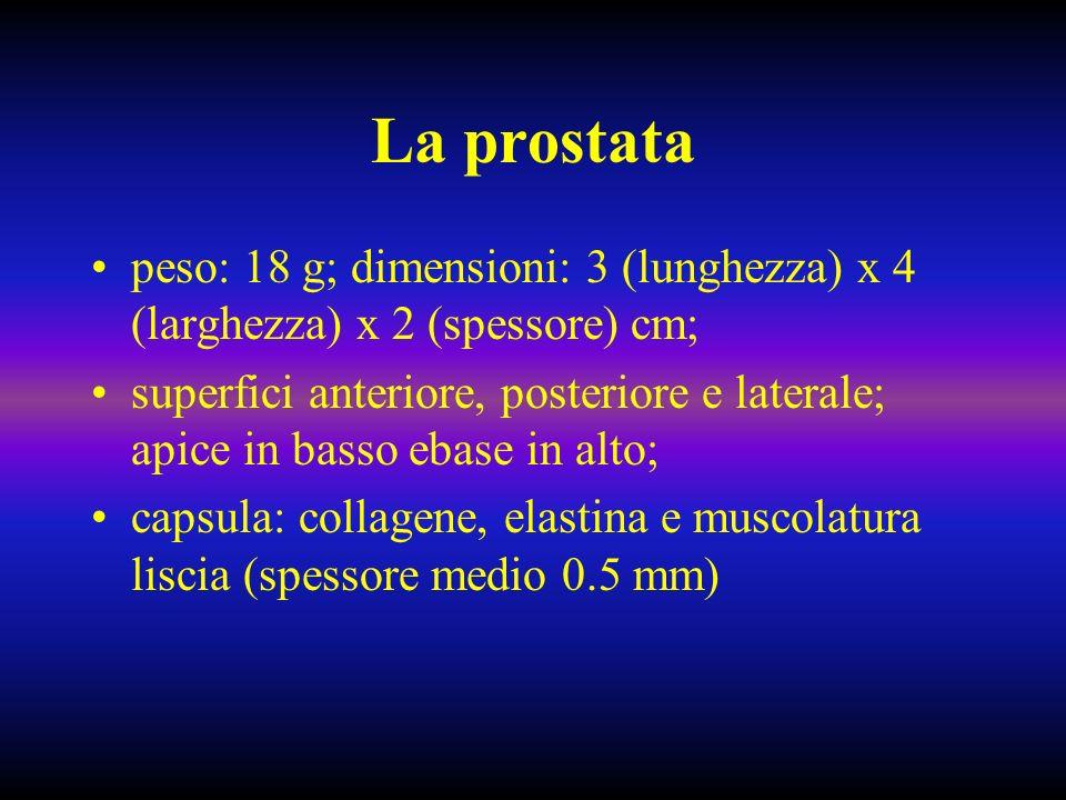 La prostata peso: 18 g; dimensioni: 3 (lunghezza) x 4 (larghezza) x 2 (spessore) cm;