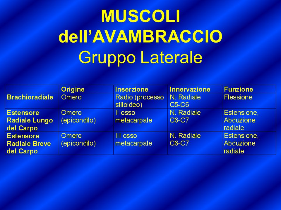MUSCOLI dell'AVAMBRACCIO Gruppo Laterale