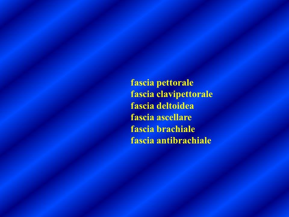 fascia pettorale fascia clavipettorale. fascia deltoidea.