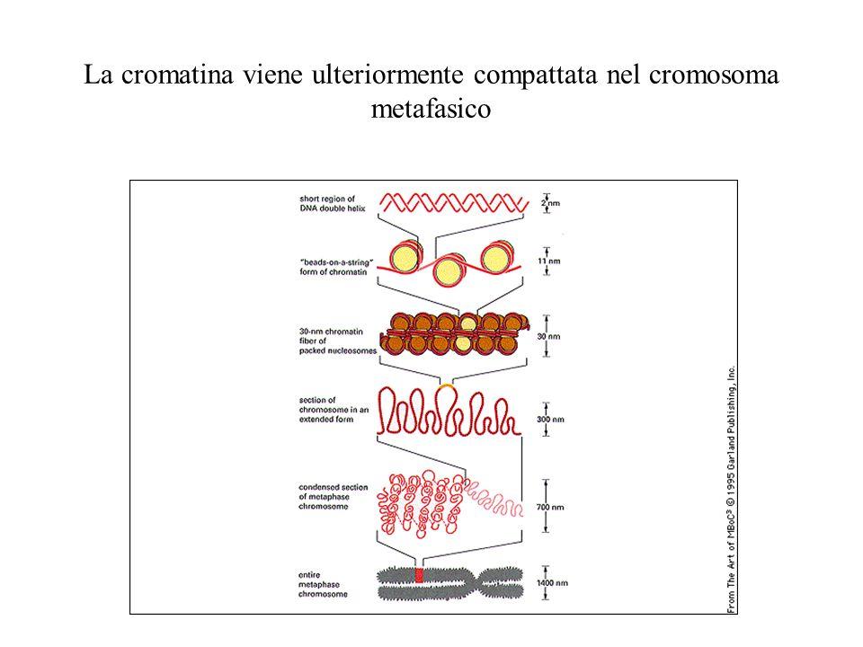 La cromatina viene ulteriormente compattata nel cromosoma metafasico