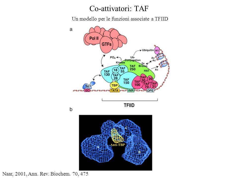 Co-attivatori: TAF Un modello per le funzioni associate a TFIID