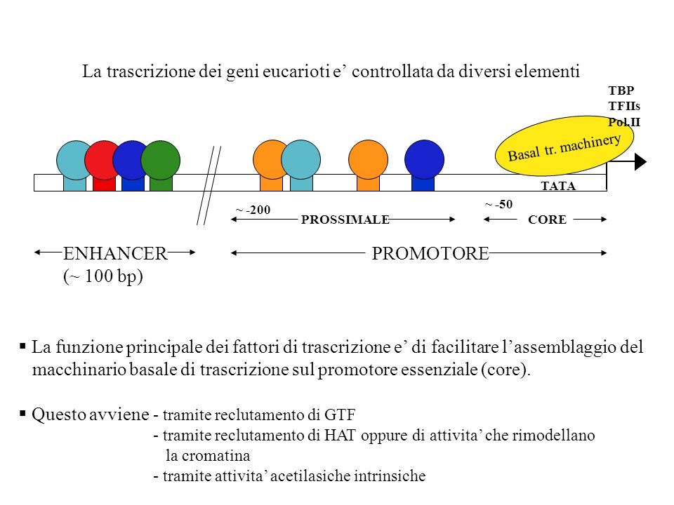 La trascrizione dei geni eucarioti e' controllata da diversi elementi