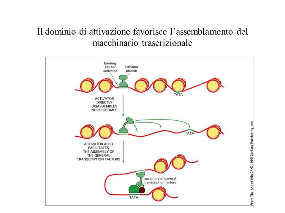 Il dominio di attivazione favorisce l'assemblamento del macchinario trascrizionale