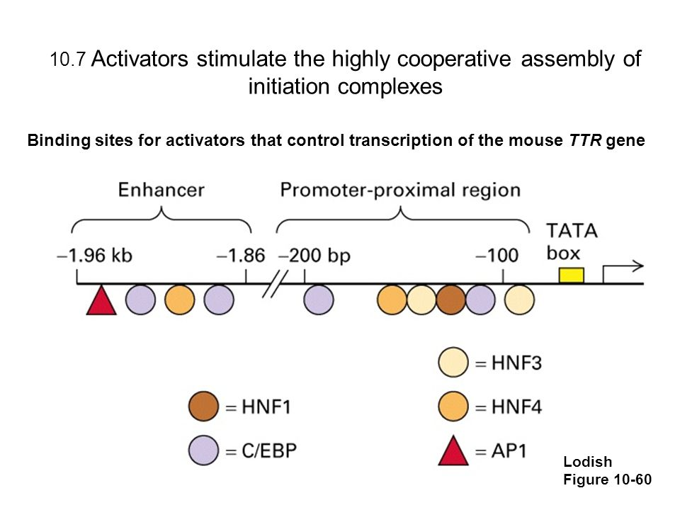 10.7 Activators stimulate the highly cooperative assembly of initiation complexes