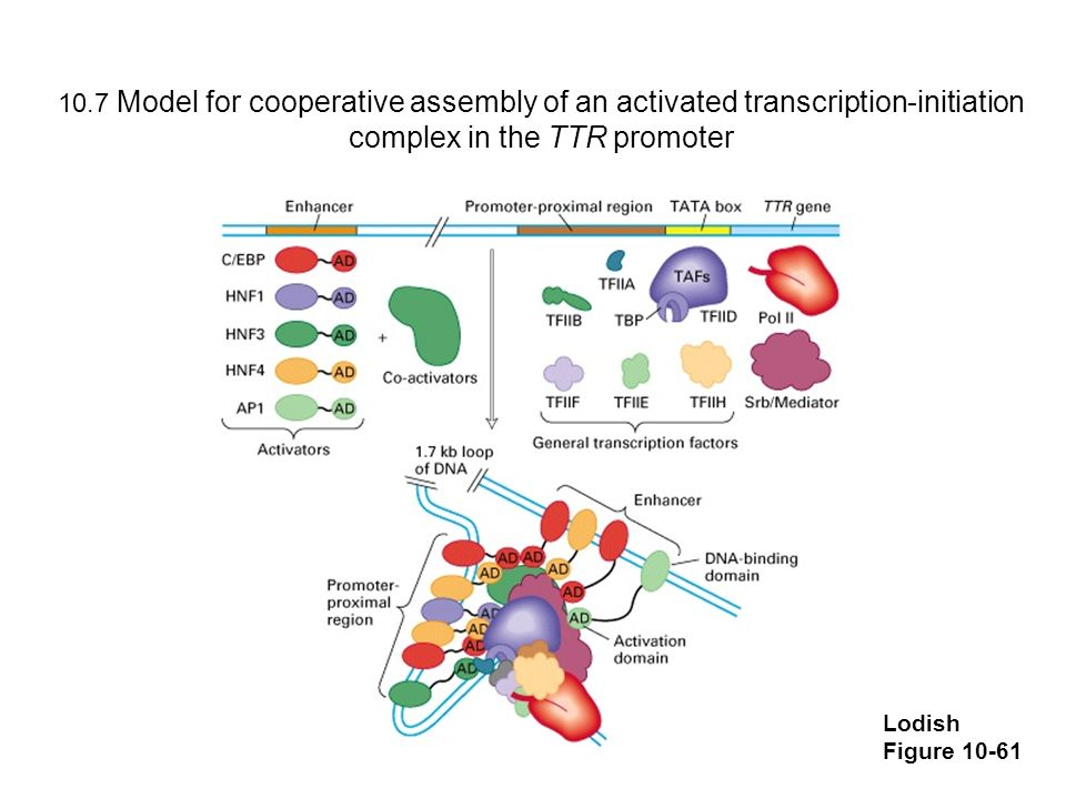10.7 Model for cooperative assembly of an activated transcription-initiation complex in the TTR promoter
