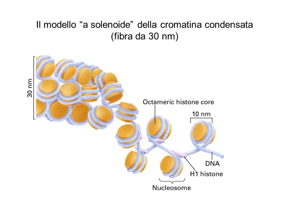Il modello a solenoide della cromatina condensata (fibra da 30 nm)