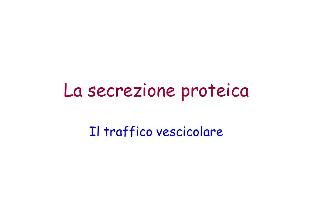 La secrezione proteica