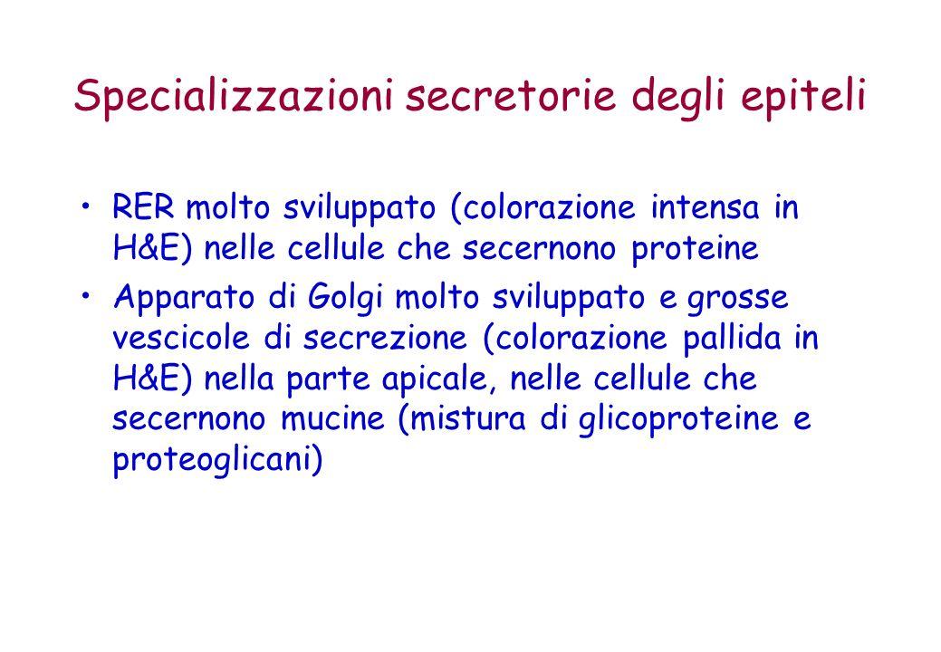 Specializzazioni secretorie degli epiteli