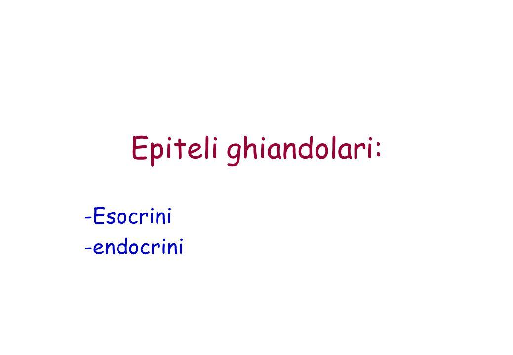 Epiteli ghiandolari: Esocrini endocrini