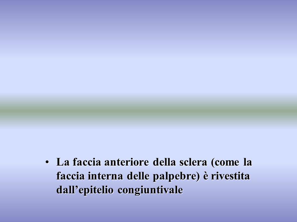 La faccia anteriore della sclera (come la faccia interna delle palpebre) è rivestita dall'epitelio congiuntivale