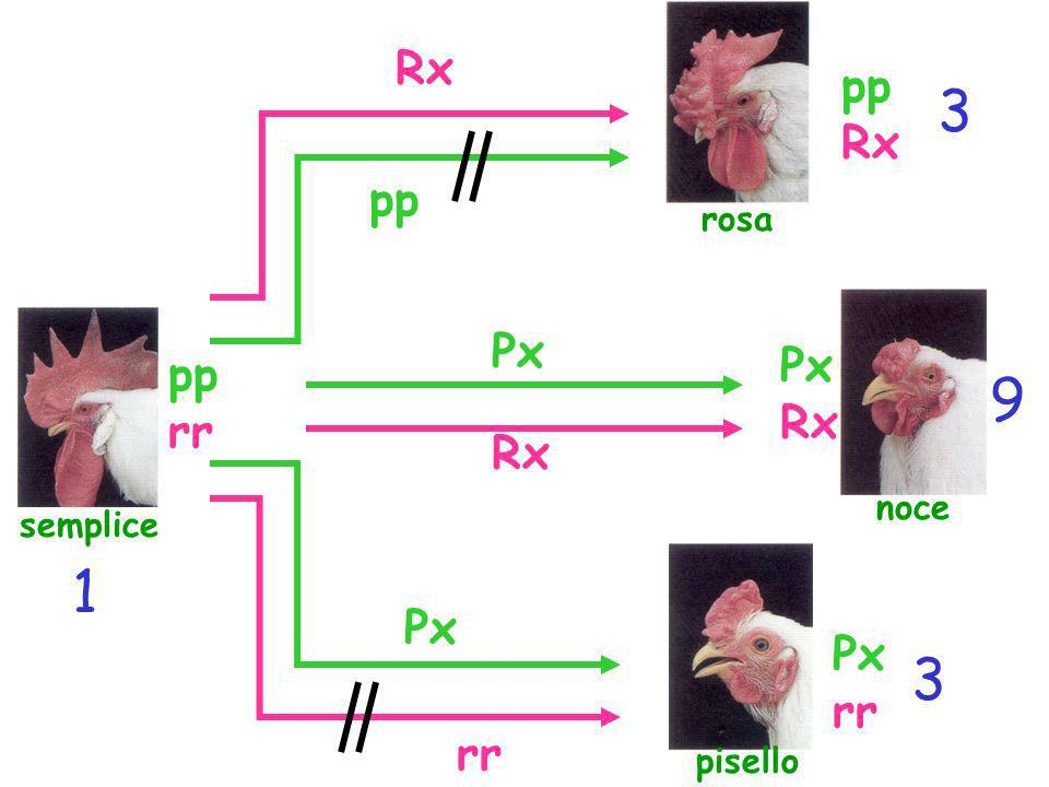 3 9 1 3 Rx pp Rx pp Px Px pp Rx rr Rx Px Px rr rr rosa noce semplice