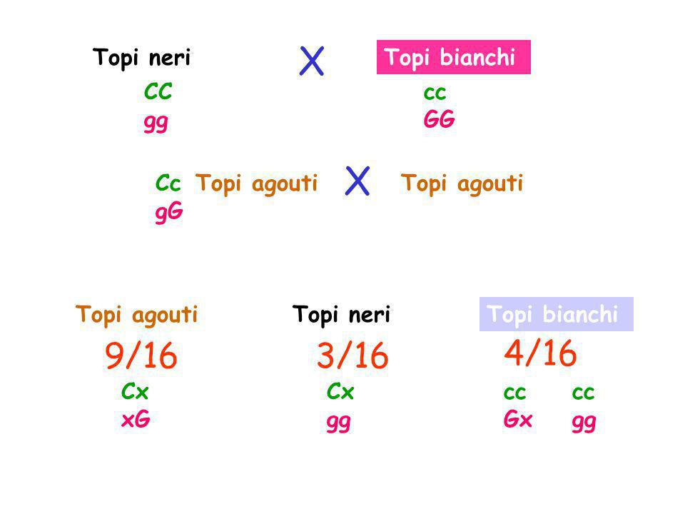 X X 9/16 3/16 4/16 Topi neri Topi bianchi CC gg cc GG Cc gG