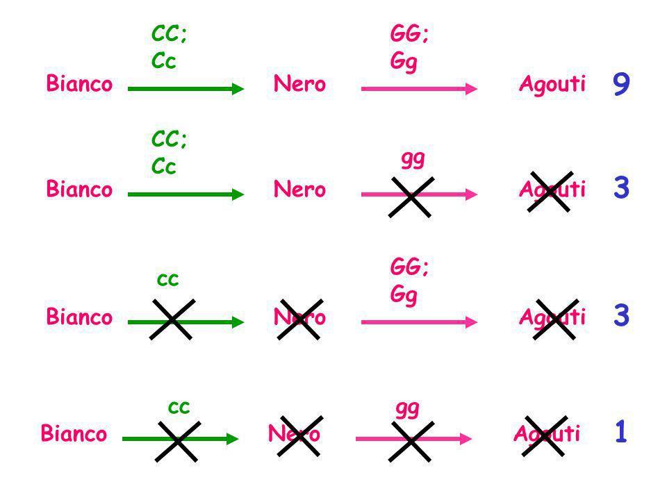 9 3 3 1 CC; Cc GG;Gg Bianco Nero Agouti CC; Cc gg Bianco Nero Agouti