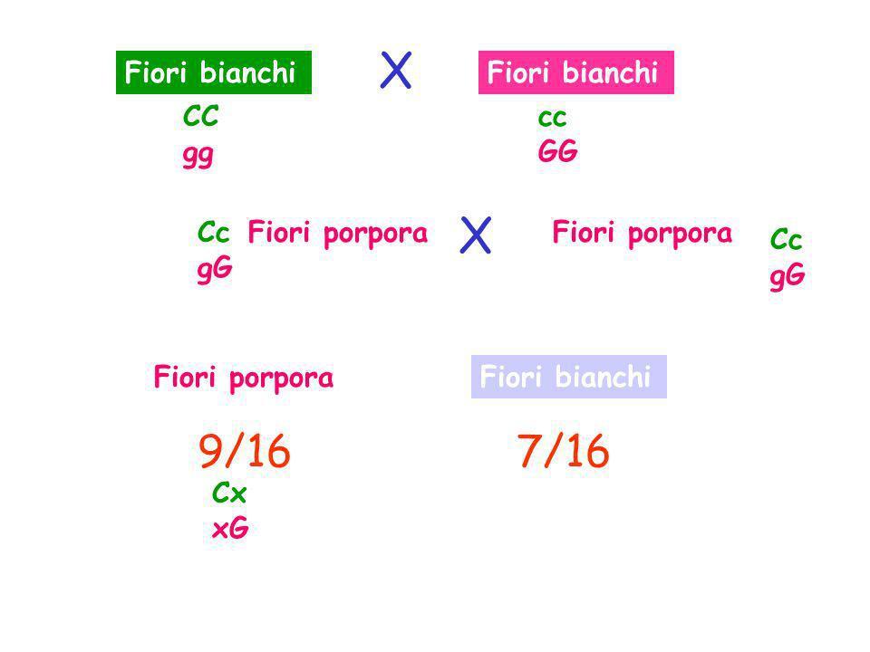 X X 9/16 7/16 Fiori bianchi Fiori bianchi CC gg cc GG Cc gG