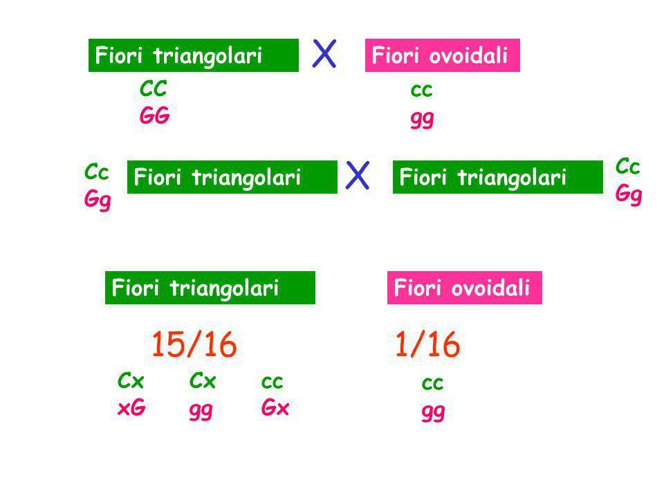 X X 15/16 1/16 Fiori triangolari Fiori ovoidali CC GG cc gg Cc Gg Cc