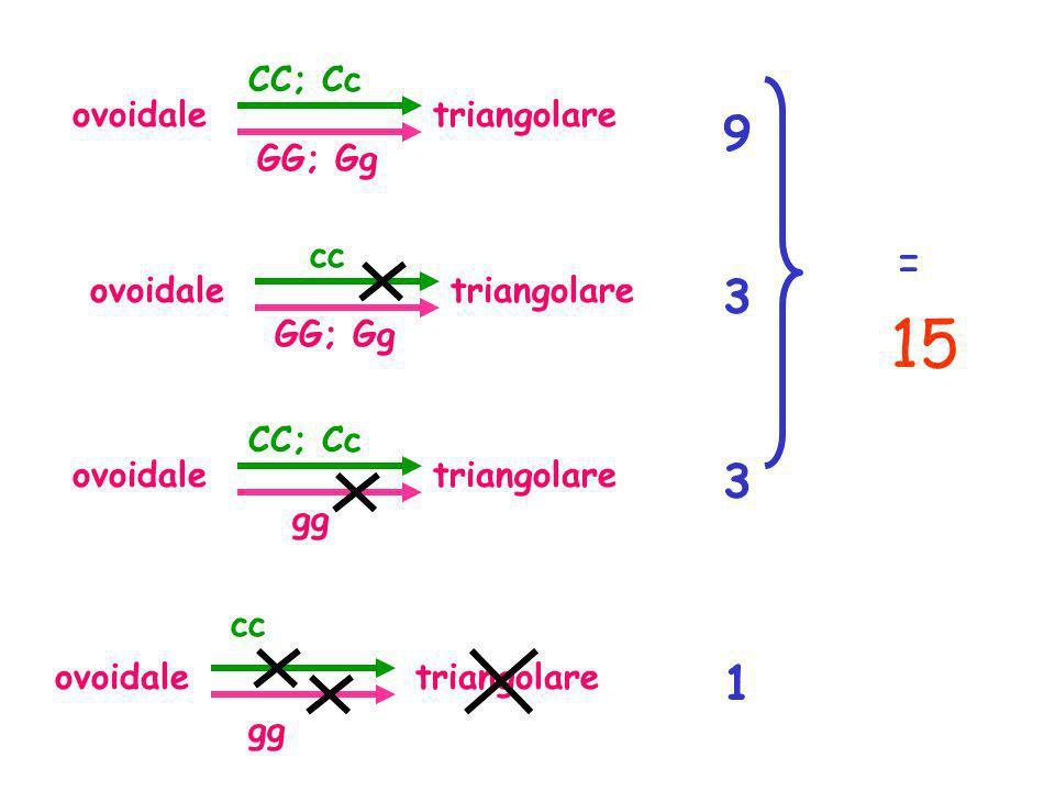 15 9 = 3 3 1 CC; Cc ovoidale triangolare GG; Gg cc ovoidale