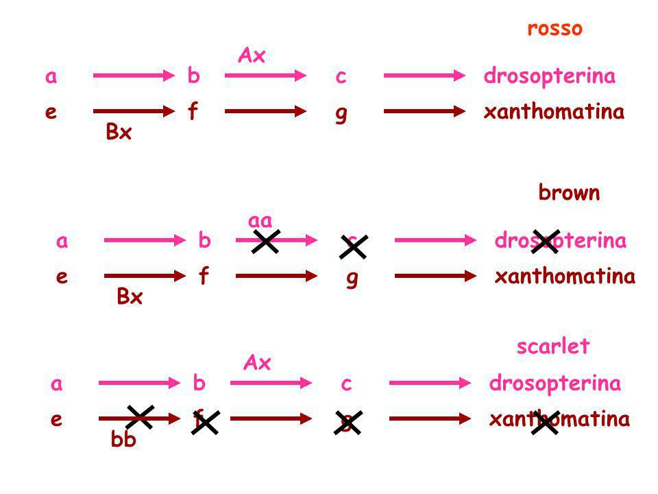 rosso Ax. a. b. c. drosopterina. e. f. g. xanthomatina. Bx. brown. aa. a. b. c. drosopterina.
