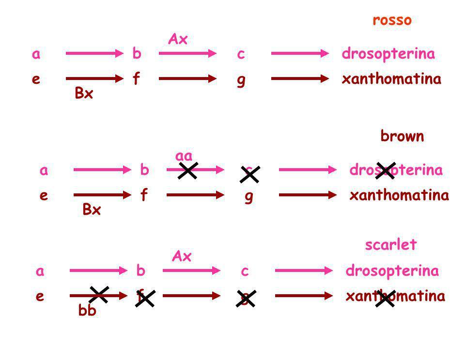 rossoAx. a. b. c. drosopterina. e. f. g. xanthomatina. Bx. brown. aa. a. b. c. drosopterina. e. f. g.