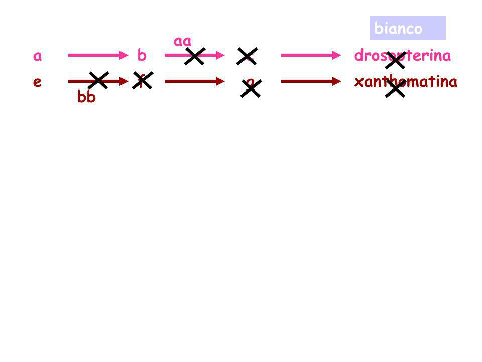 bianco aa a b c drosopterina e f g xanthomatina bb