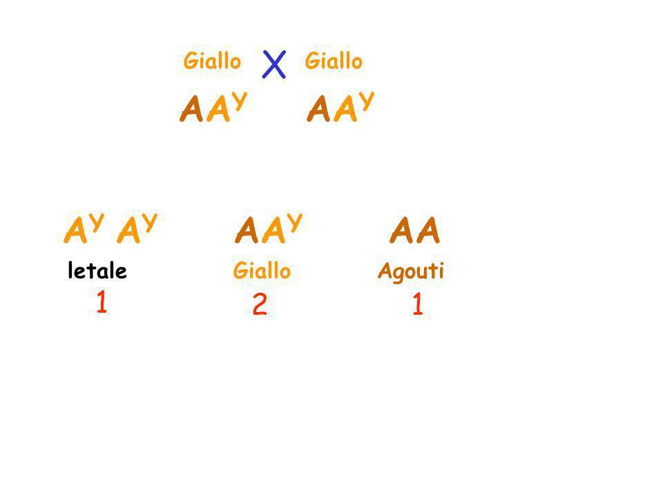 X Giallo Giallo AAY AAY AY AY AAY AA letale Giallo Agouti 1 2 1