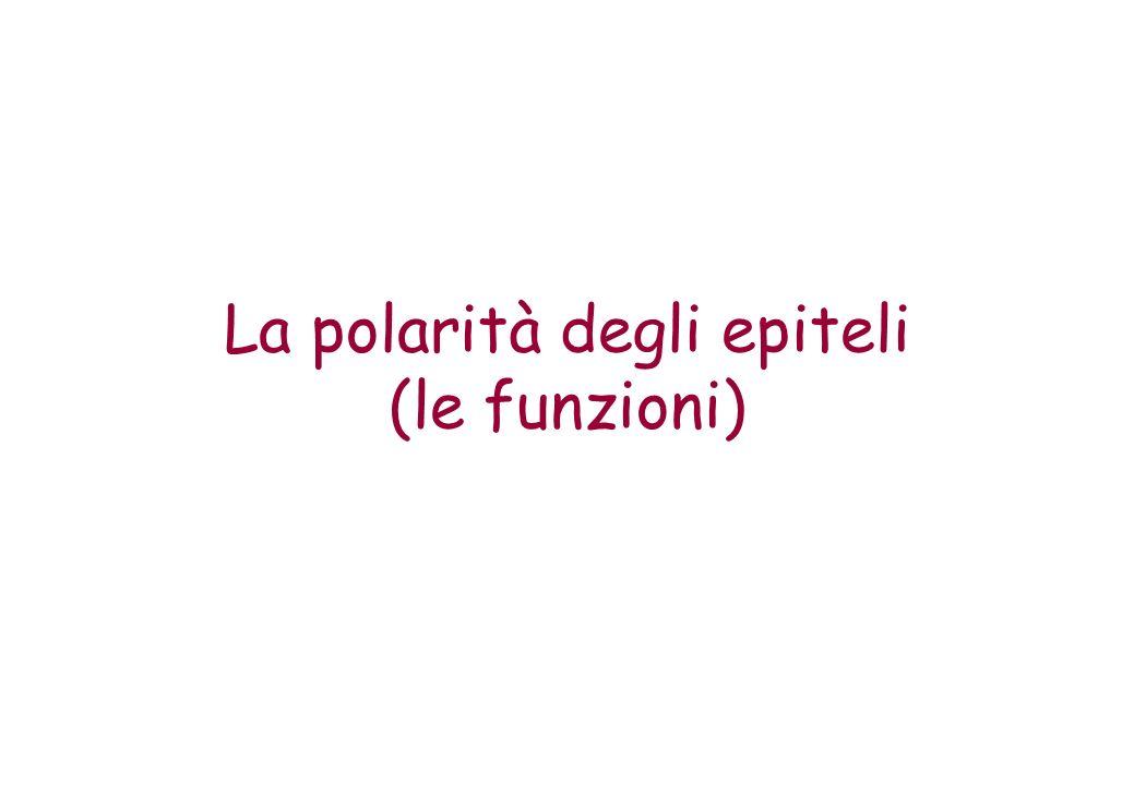 La polarità degli epiteli (le funzioni)