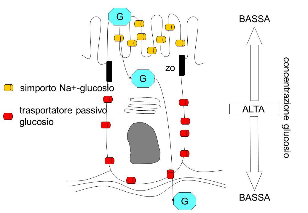 simporto Na+-glucosio concentrazione glucosio