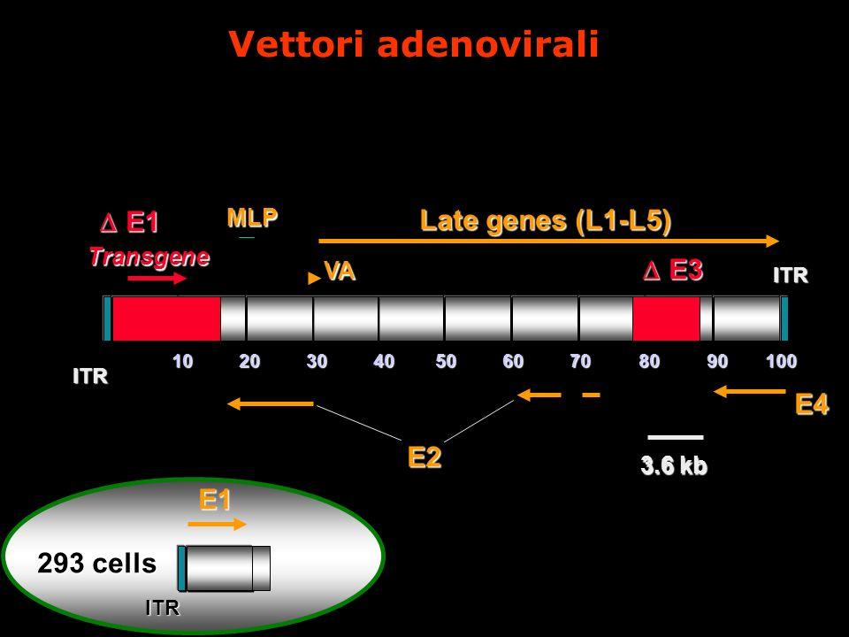 Vettori adenovirali E1 Late genes (L1-L5) E3 E4 E2 E1 293 cells