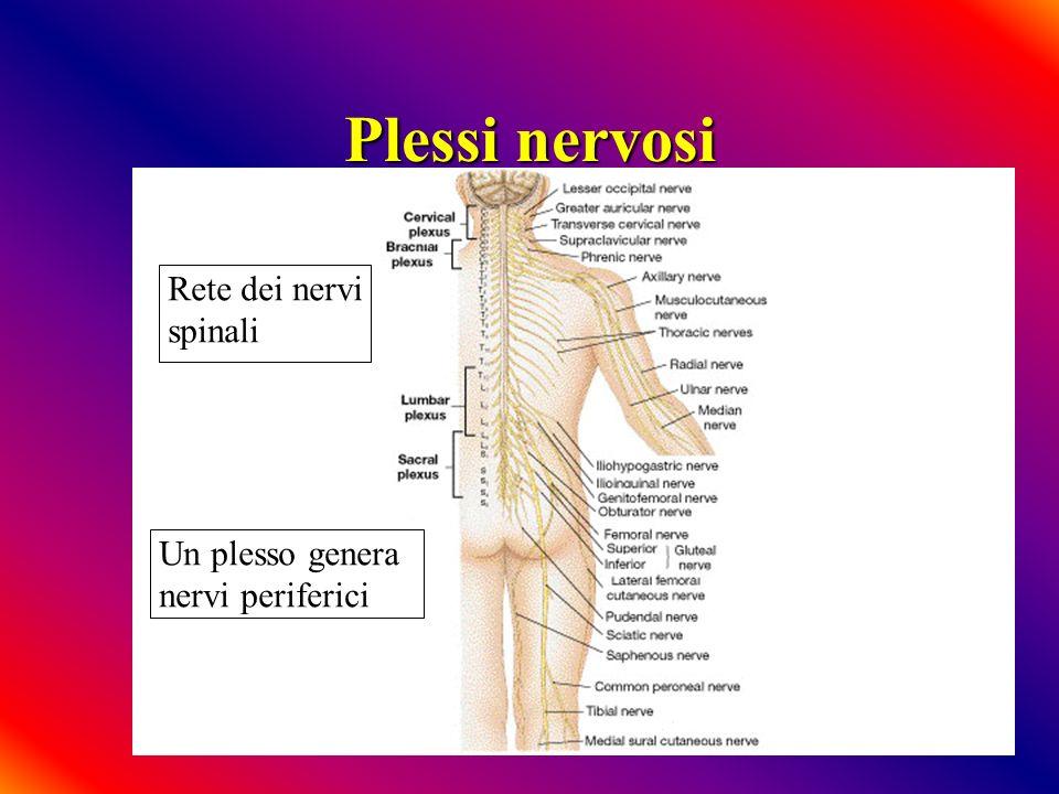 Plessi nervosi Rete dei nervi spinali Un plesso genera