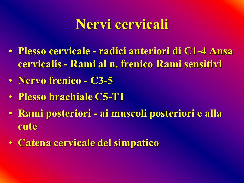Nervi cervicali Plesso cervicale - radici anteriori di C1-4 Ansa cervicalis - Rami al n. frenico Rami sensitivi.