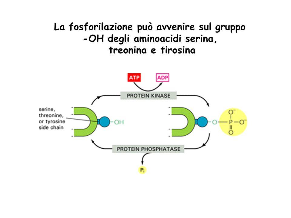 La fosforilazione può avvenire sul gruppo -OH degli aminoacidi serina,