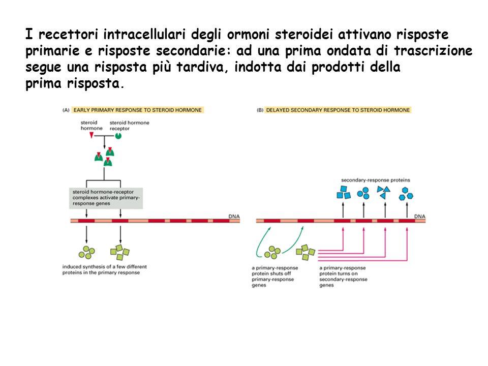 I recettori intracellulari degli ormoni steroidei attivano risposte