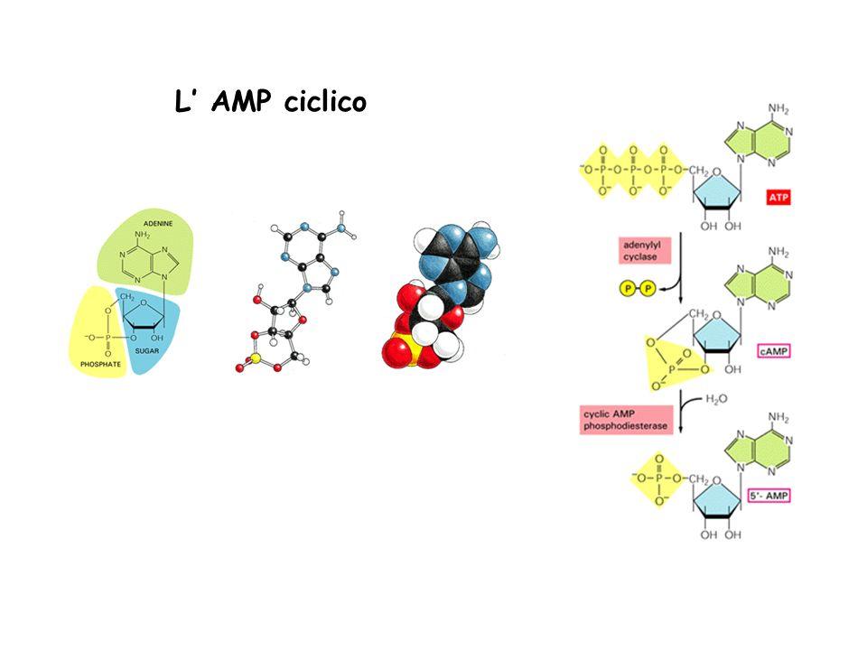L' AMP ciclico