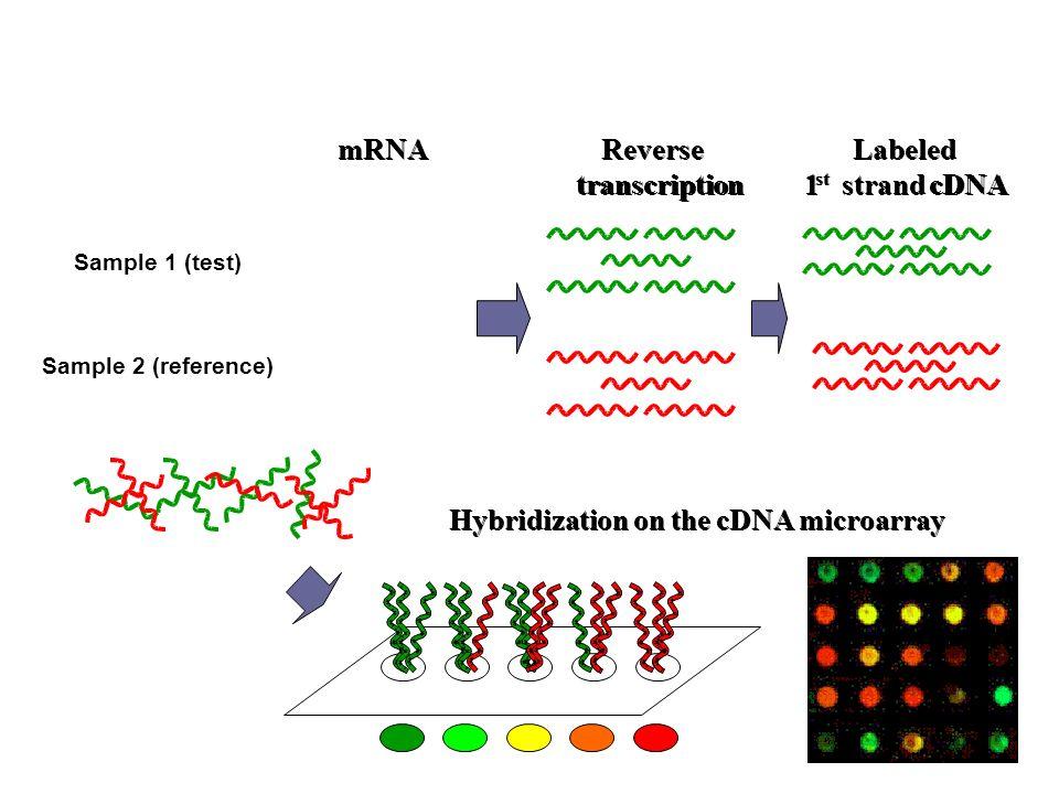 mRNA mRNA Reverse Reverse Labeled Labeled transcription transcription