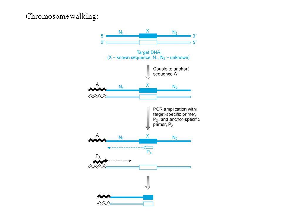 Chromosome walking: